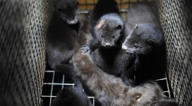 Fur farming feature copy