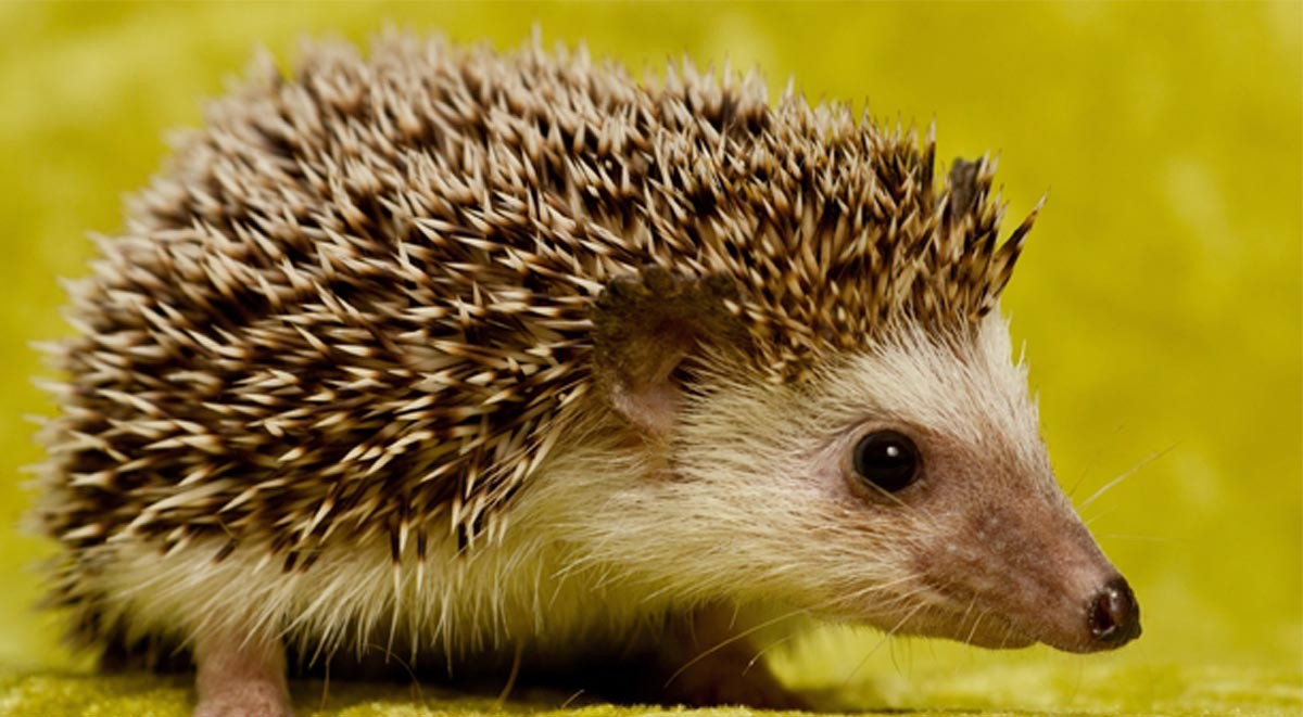 hedgehog1200x661 copy