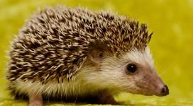 hedgehog1200x661 copy